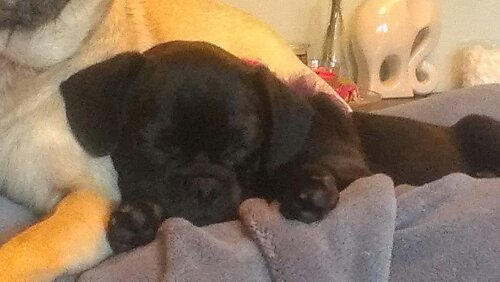 Sleepy pug puppy